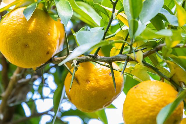 【柚子の木に生える棘】