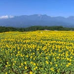 Sunflowers🌻& lavenders bloom in Yamanashi, located near Mt. Fuji🗻