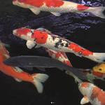 Nishiki-goi means a colorful carp🐟
