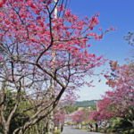 Cherry Blossoms Spring to Life in Okinawa