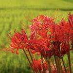 Stunning Cluster Amaryllis and Golden Rice Terraces of Kumamoto