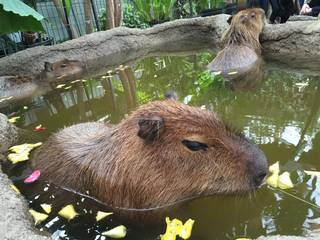 Heart-Melting Sights Of Capybaras Taking Japanese Baths At A Zoo In Nagasaki