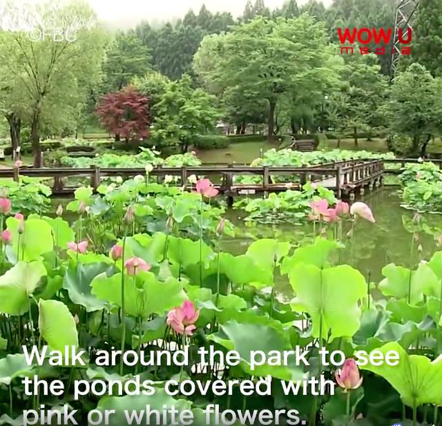 At Minami Echizen Fukui 130 Types Of Lotus Flowers Bloom Wow U Media
