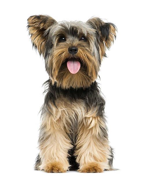 H&LE 犬 | ヨークシャー・テリア...