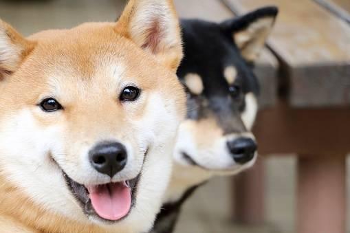 柴犬を飼い始めたら一番最初にトイレトレーニングをしよう!