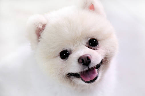 落ち着きのあるポメラニアンにしてみせる!~子犬のしつけ~