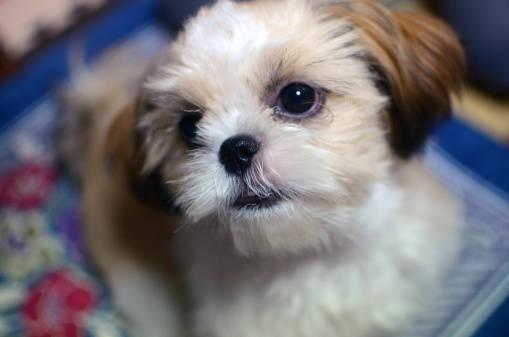 シーズーの噛み癖は子犬の頃からきちんとしつけておこう