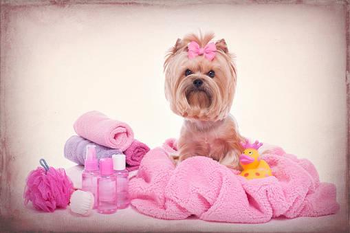 ヨークシャーテリアのトイレのしつけは子犬の時期に!