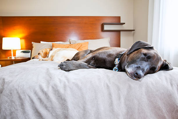 Two Labrador Retrievers Sleeping On Hotel Room Bed, Banff National Park, Alberta