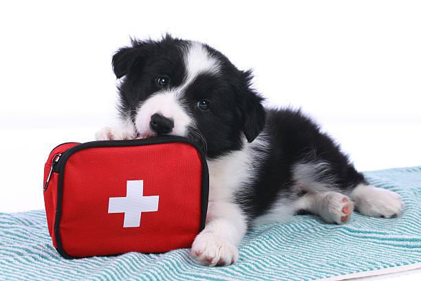 かわいいボーダーコリー子犬、緊急用キット