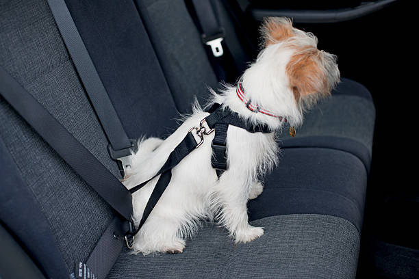 Jack Russell Terrier-cross puppy sitting on car seat wearing harness attached to seat belt
