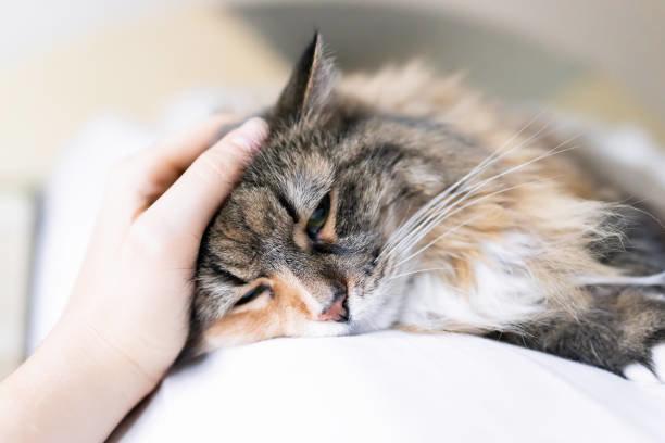 猫の病歴とペット保険~病歴は正確に申告する~