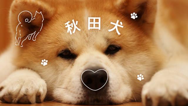 世界でブームに! 秋田犬ってどんな犬?