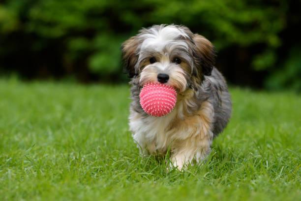 遊び心のある havanese 子犬は草の中ピンクのボ...