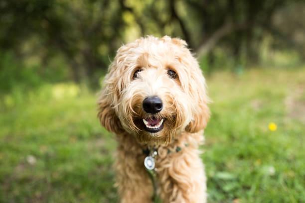犬の生理はいつから?その特徴とケアの仕方もご紹介!
