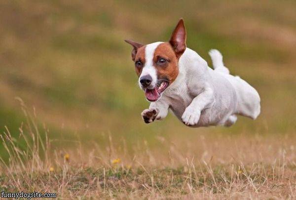 Flying Dog Is Flying - funnydogsite.com (134)