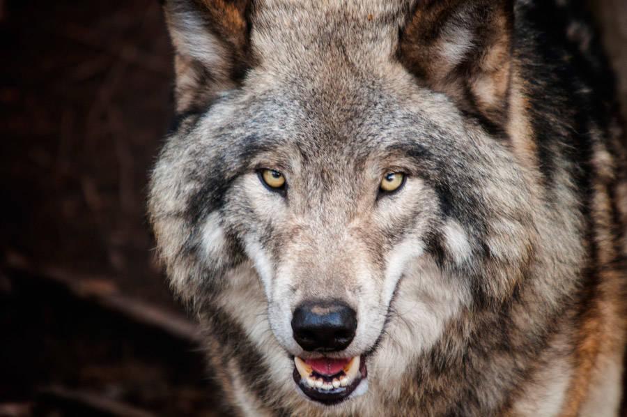 犬と狼は近い?オオカミとの違いとは??