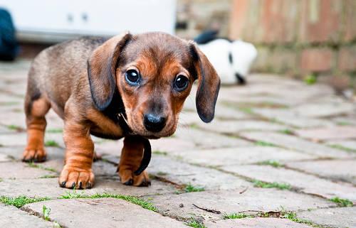 フリー画像|動物写真|哺乳類|イヌ科|犬/イヌ|子犬|ミニチュアダックスフンド|フリー素材|画像素材なら!無料・フリー写真素材のフリーフォト (1972)