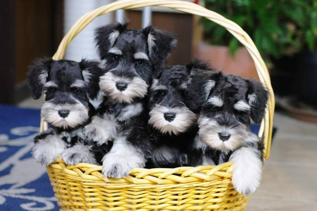 ミニチュアシュナウザーの子犬のご紹介 | (2233)