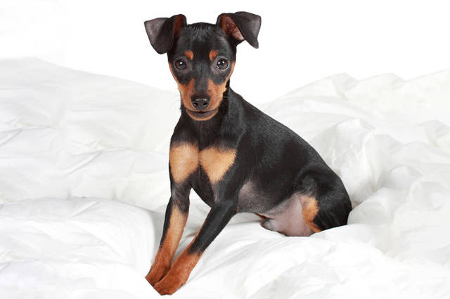 ミニチュア・ピンシャー | 犬の保険 | ペット保険の「PS保険」 (2235)