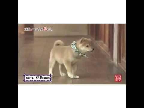 豆助っていいなで有名?可愛すぎる柴犬「豆助」動画8選出!