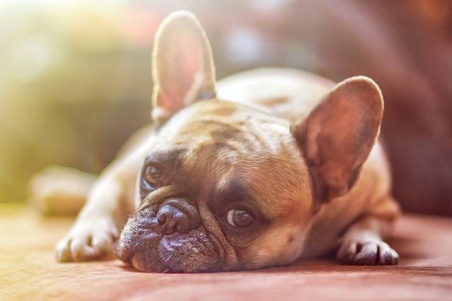 Dog Model French Bulldog · Free photo on Pixabay (5)