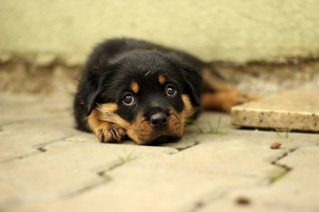 Rottweiler Puppy Dog · Free photo on Pixabay (294)