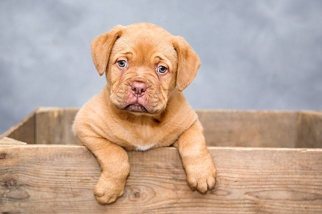 Dogue De Bordeaux Puppy Dogs · Free photo on Pixabay (1000)