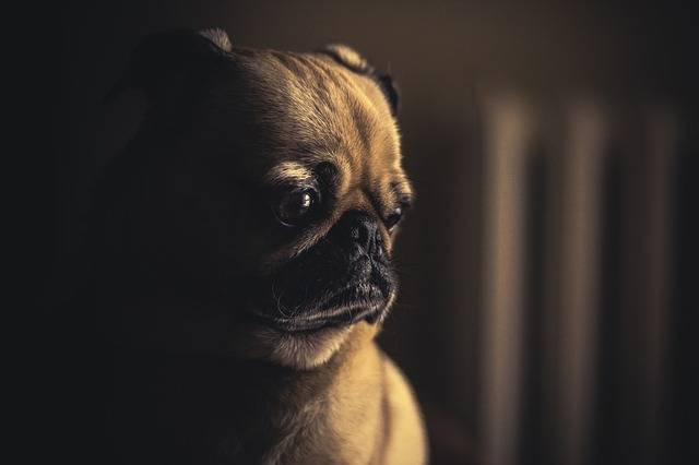Dog Pug Puppy · Free photo on Pixabay (1079)