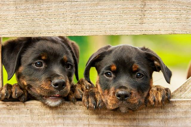 Rottweiler Puppy Dog · Free photo on Pixabay (2052)