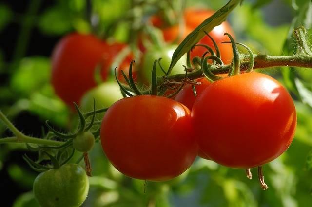 Tomato Plant Food · Free photo on Pixabay (6597)