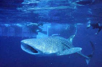 ジンベエザメの遊泳経路調査 | いおワールドかごしま水族館 (7903)