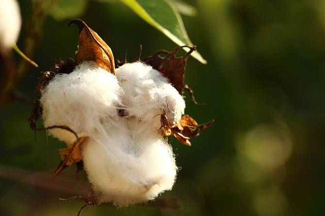 Cotton White Plant · Free photo on Pixabay (57899)