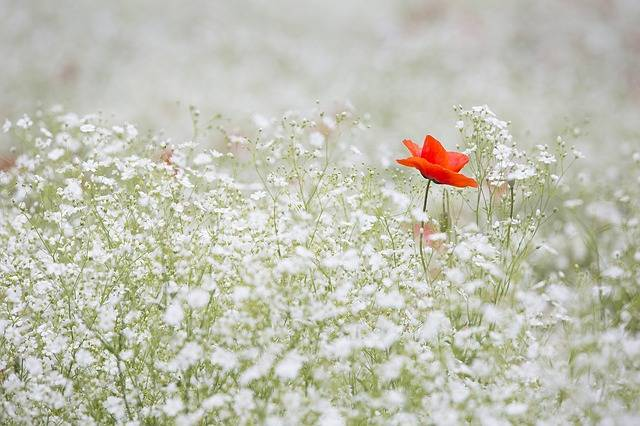Poppy Gypsophila Elegans Red Color · Free photo on Pixabay (92854)
