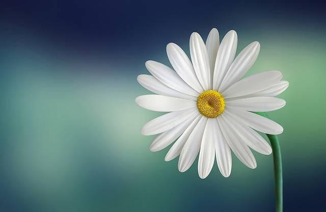 Marguerite Daisy Flower · Free photo on Pixabay (101844)