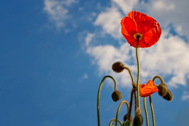 Poppy Sky Blue · Free photo on Pixabay (116272)