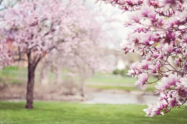 Magnolia Trees Springtime Blossoms · Free photo on Pixabay (123918)