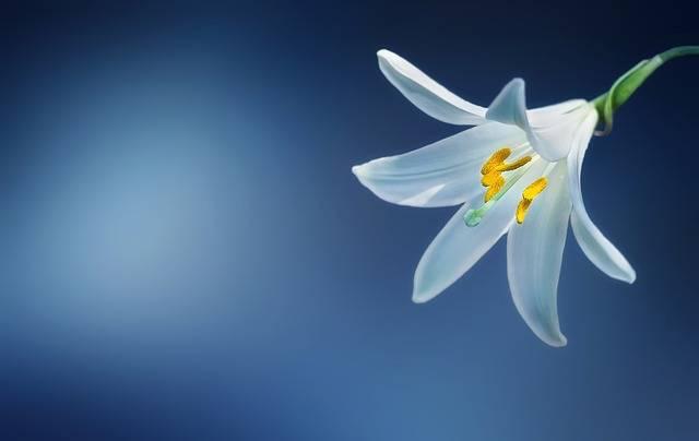 Flower Lily Lilium Candidum · Free photo on Pixabay (135963)