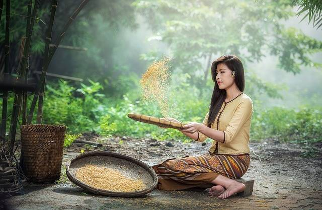 Rice Woman Harvest · Free photo on Pixabay (138208)