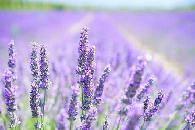 Lavender Blossom Purple · Free photo on Pixabay (160189)