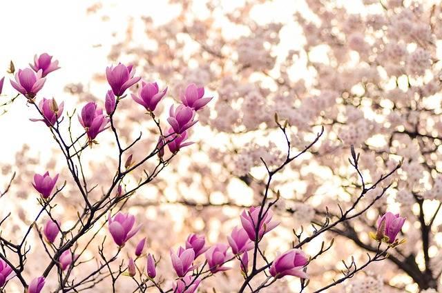 Magnolia Branches Blossom - Free photo on Pixabay (177473)