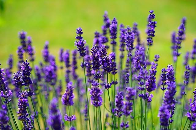 Lavender Flowers Purple Wild - Free photo on Pixabay (214721)