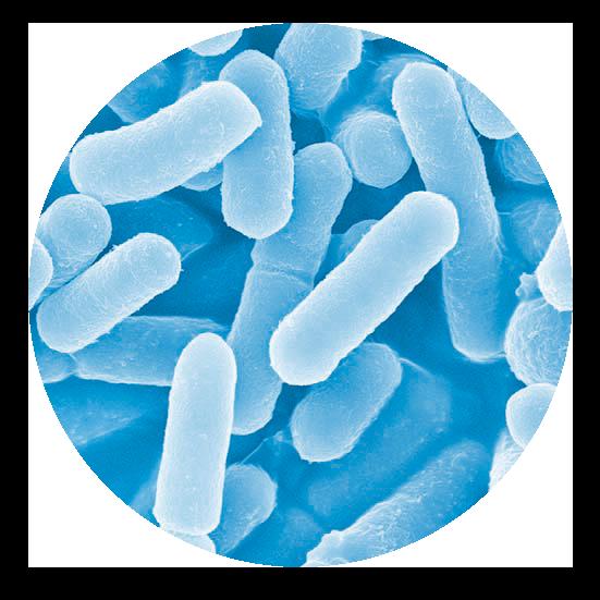 「L8020」乳酸菌を 顕微鏡で見たもの。