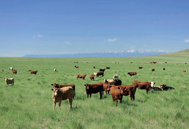 アメリカンビーフは、広大な牧場でのびのびと