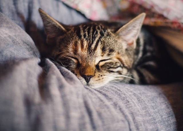 Cat Domestic Sleep - Free photo on Pixabay (11710)