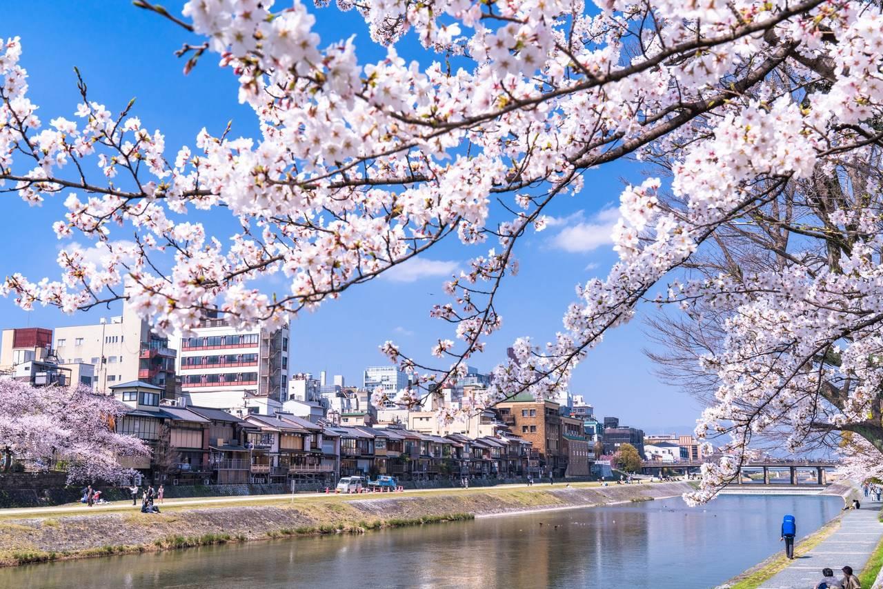 【京都】櫻花季系列4~在京都穿著和服 走鴨川逛逛賞櫻吧