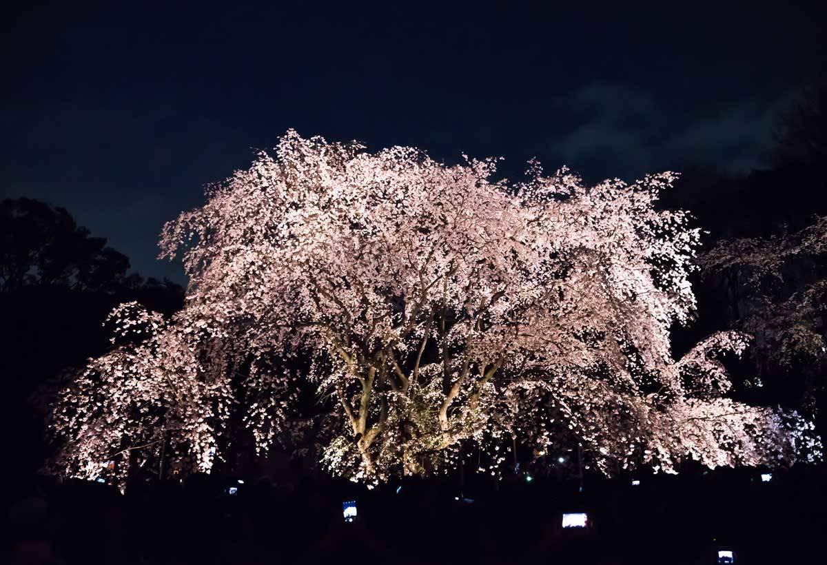 東京櫻花慢開中 三月四月正是賞花好時機