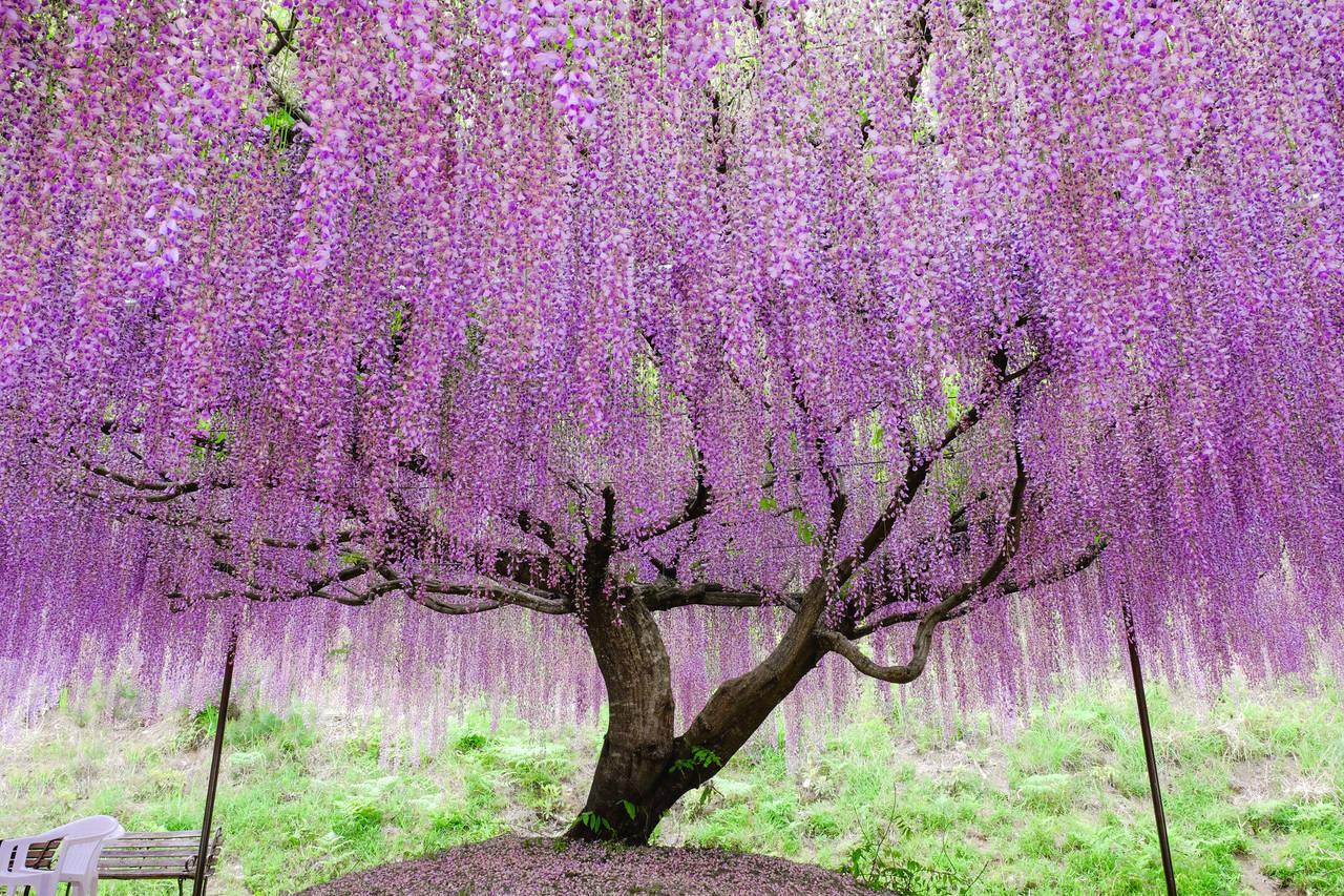 兵庫縣白毫寺 浪漫又人潮剛剛好的紫藤花園
