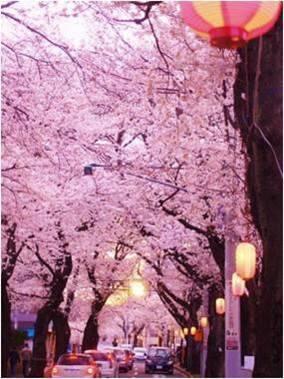賞櫻不要只到東京!千葉縣松戶的八處賞花好地方