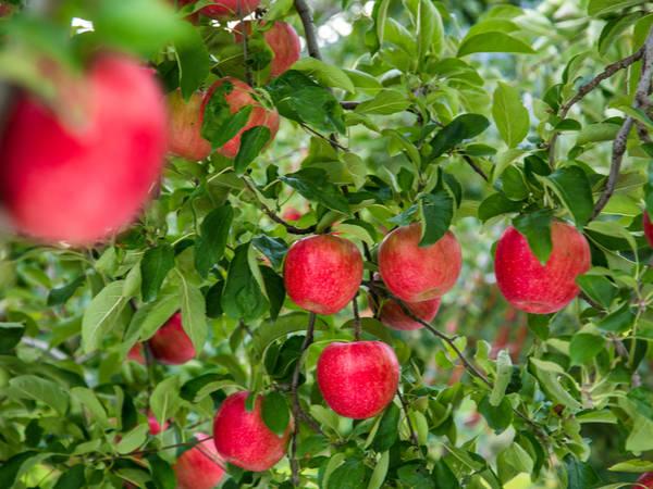 【日本47都道府縣的地方食材】不是只有蘋果和蒜頭!青森縣的傳統蔬菜和農產品